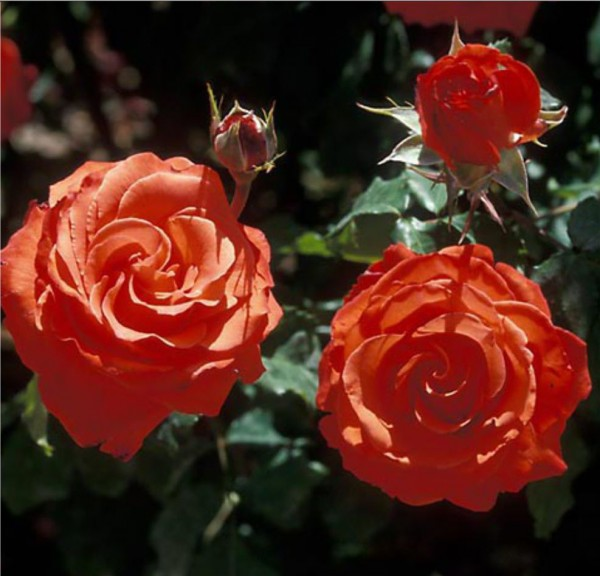 greenvale rose farm roses for sale results