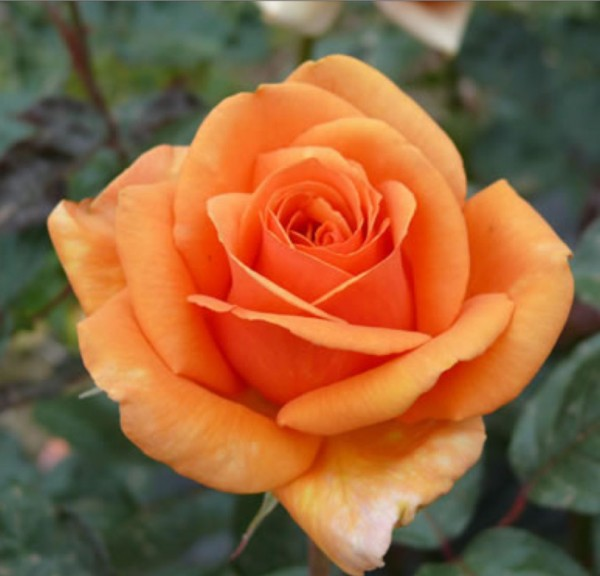 Miniature Yellow Rose Bush