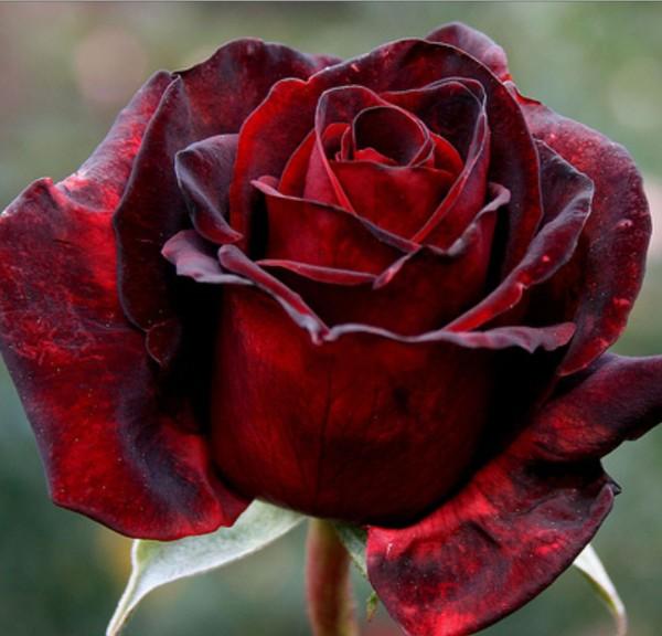 Greenvale rose farm roses for sale results - Black red rose wallpaper ...