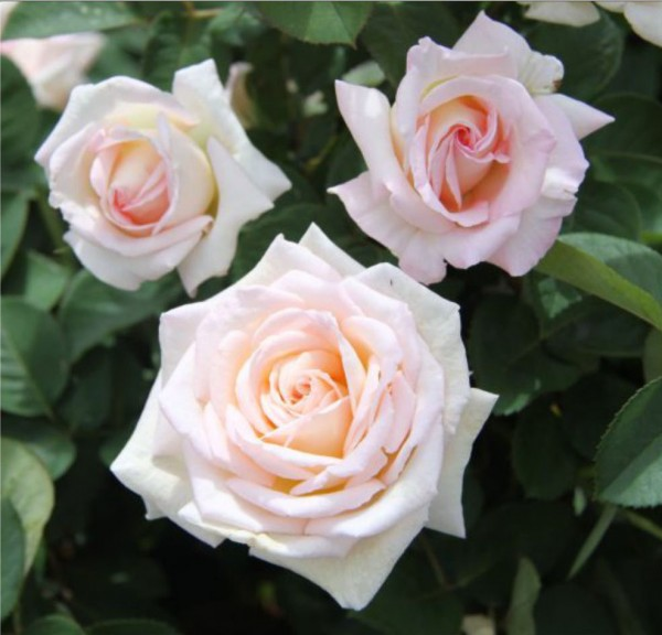 Greenvale rose farm roses for sale results for Bagatelle jardin