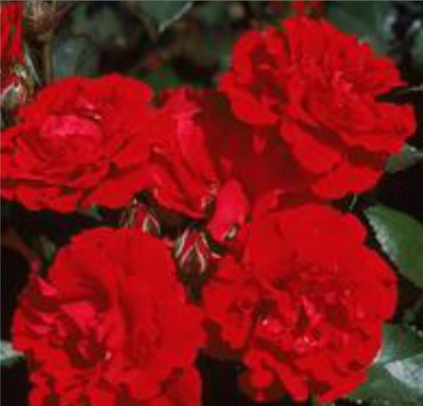greenvale rose farm roses for sale results. Black Bedroom Furniture Sets. Home Design Ideas